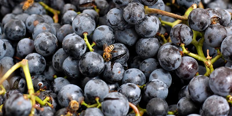 api che si cibano dei succhi rilasciati dagli acini di uva