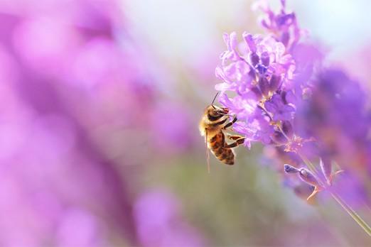 ape che sta impollinando un fiore di glicine